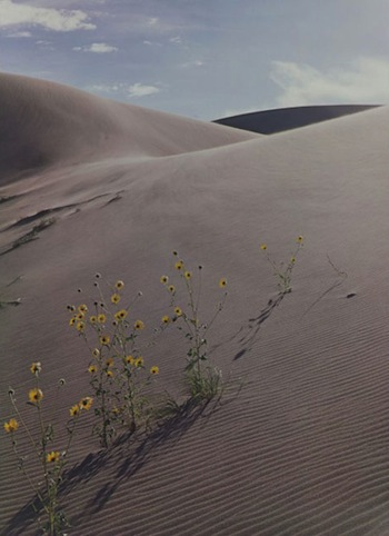 Eliot Porter, United States, 1901 – 1990, Sunflower and Sand Dune, Colorado, 1959, dye imbibition print, 16 x 11 3/4 inches, Portland Museum of Art, Maine © Amon Carter Museum of American Art, Fort Worth, Texas.